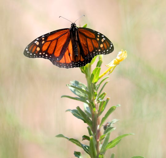 Villa Terrace Decorative Arts Museum will dedicate a butterfly garden this fall, with an exhibit dedicated to the butterfly and its migration.