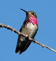 A male calliope hummingbird pauses in a North Valley backyard in Las Cruces.