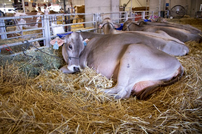 Dairy cows rest between competitions at the 2019 California State Fair.