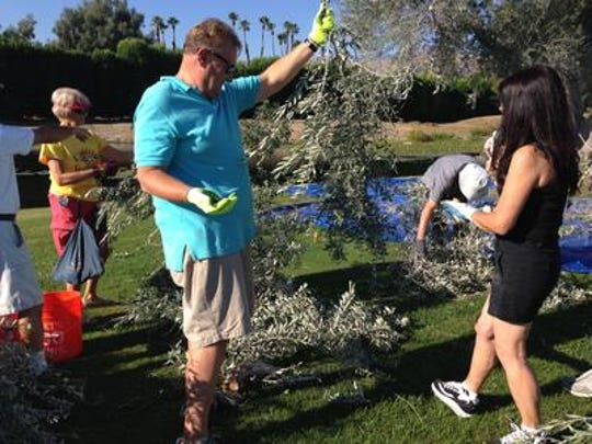 Volunteers help harvest olives at Sunnylands in Rancho Mirage on Saturday, Sept. 13, 2014. Volunteers are once again sought to help with the 2019 harvest, on Sept. 11 and 12. Advance registration is required at the Sunnylands website or Facebook page.