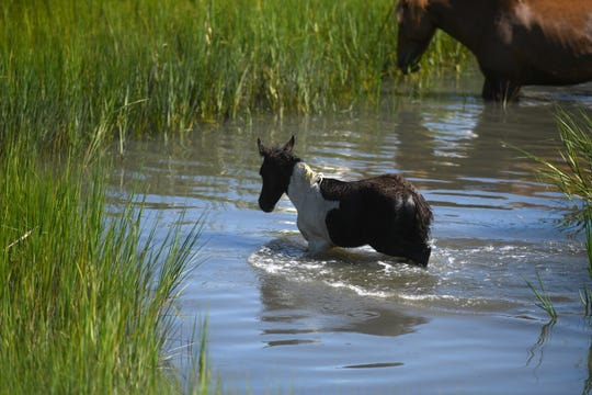 Ponies crossed the water, landing successfully on Chincoteague Island during the Pony Swim on July 24, 2019. The swim lasted 3 minutes and 54 seconds, with the signal flare starting their initial trek at 9:46 a.m.