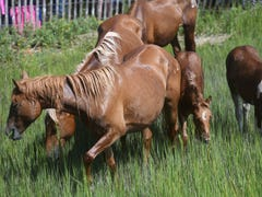 Hurricane: What Chincoteague, Assateague do to keep ponies safe