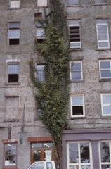 Trumpet creeper (Campsis radicans) is a vine that clings onto rough surfaces, such as this building, to climb.