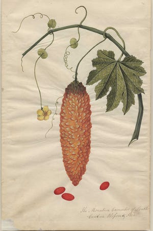 This image of bitter melon is one of 32 watercolors painted between 1765 and 1775, now within the Rare Books and Special Collections in the Thomas Cooper Library  at USC.