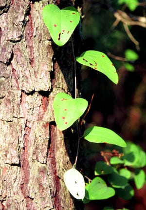 Cat sawbriar (Smilax glauca) is a winder vine with prickly stems that uses tendrils to climb.
