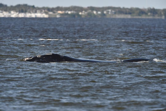 A right whale and its calf (right) swim in the Indian River Lagoon west of the Sebastian Inlet Monday, Feb. 8, 2016, as dozens of onlookers line up along the shoreline at Sebastian Inlet State Park to see the rare event.