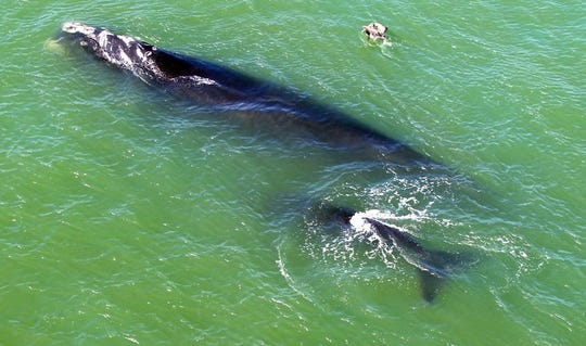 Stephen Ferrell of Melbourne Beach photographed these North Atlantic right whales on Tuesday, February 9, 2016,  from the Sebastian Inlet Bridge which connects Indian River and Brevard County. They showed up the day before surprising local wildlife officials because whales normally stay miles out in the ocean. The mother whale is about 45 feet long and the calf is 20 feet long.  The whales exited the inlet early Tuesday afternoon.