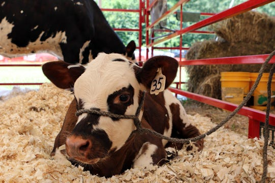 One of the best ways to detect diarrhea in calves is looking at the position of the calf's eyeball.There should not be a gap between the eye and the eyelid.