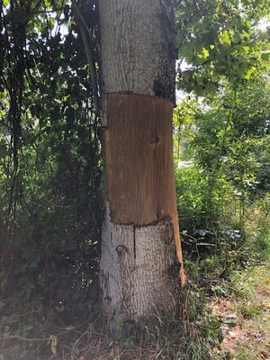 A vandal stripped bark from three mature trees in Alexander River Park.