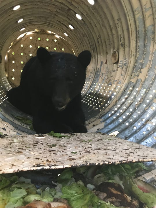 The bear inside the bear trap Wardens left on the property in Underhill.