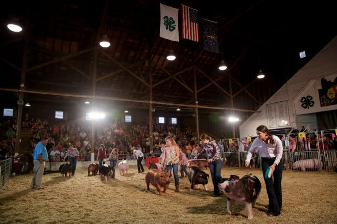 Seth Swenson judges the 4-H Grand Champion Barrow and Gilt selection judging at the 2019 Tippecanoe County Fair, Wednesday, July 24, 2019 in Lafayette. The fair continues until Saturday, July 27.