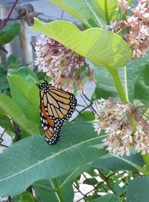 A milkweed sale is planned this spring by the Monarch Trail organization.