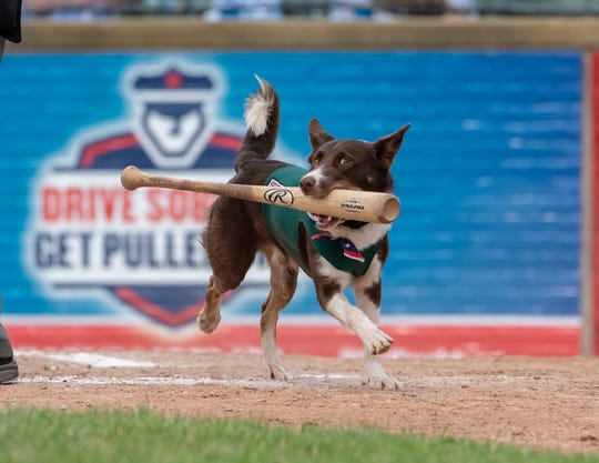 Colt, the bat dog for the Madison Mallards, is finishing his second year with the Northwoods League franchise.