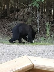 A black bear carries off trash from the yard of Jon and Deb Schiller in Oakland recently.