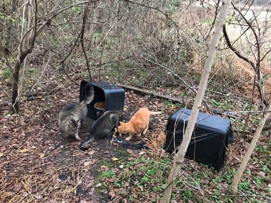 Feral cats eat in the Stonegate neighborhood in Mt. Juliet.