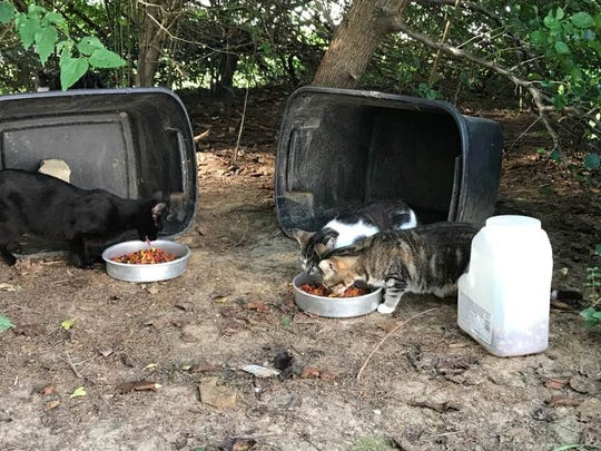 Feral cats being fed at the Stonegate neighborhood in Mt. Juliet.