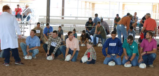 Contestants in the broiler poultry show get judged during Thursday's Eddy County Fair in Artesia.