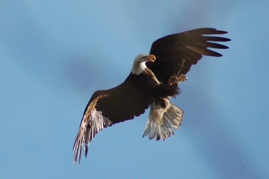 Bald eagles were on the verge of extinction until the early 1940s, when they became Federally protected.