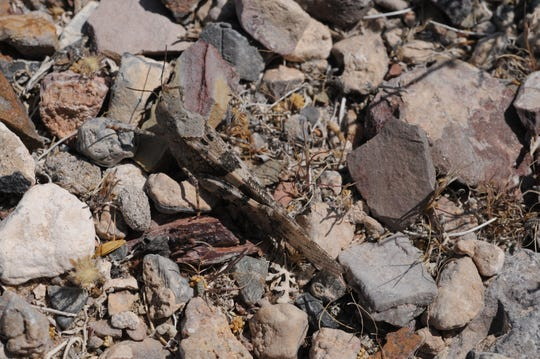 Grasshoppers are invading Nevada