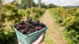 Learn about the marionberry's local origins.