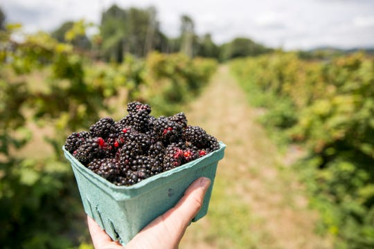 Freshly picked marionberries are pictured at Rogue Farms in Independence on July 23, 2019.