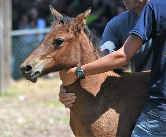 A pony is auctioned off in Chincoteague on Thursday, July 25, 2019.
