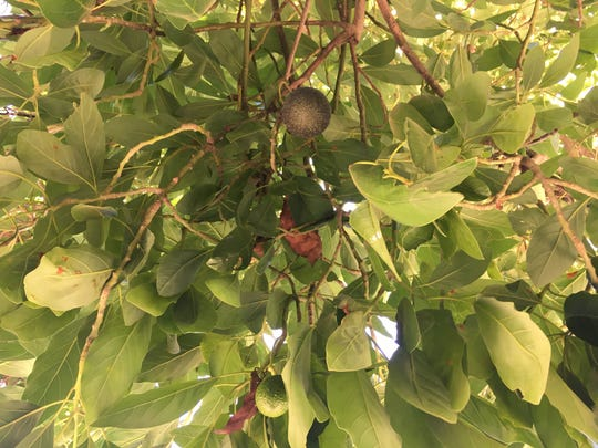 Avocados hang from a tree next to the Petty Ranch office in Saticoy. The city of Oxnard is offering avocado and peach trees to qualified residents as part of a clean air initiative.
