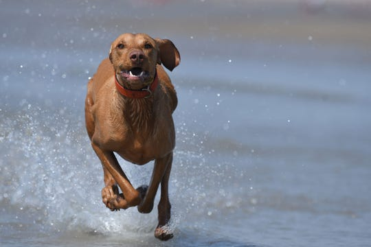 A dog runs through shallow water by the sea in Camber Sands, England on July 25, 2019.