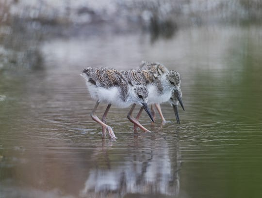 "A pair of black necked stilts are rearing their young chicks at J.N. ""Ding"" Darling National Wildlife Refuge on Sanibel. Black-necked Stilts have the second-longest legs in proportion to their bodies of any bird—only a flamingo's are longer. Black-necked Stilts are almost always seen near shallow water, including both salt and fresh water, especially mudflats,  and many human-modified habitats such as sewage ponds, evaporation pools, and flooded fields."