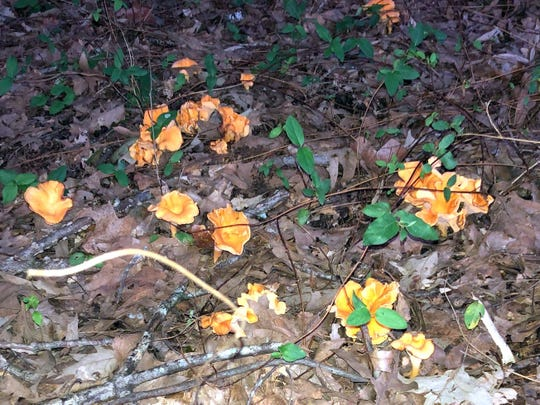Theses chanterelles were consumed with no complications by a human.