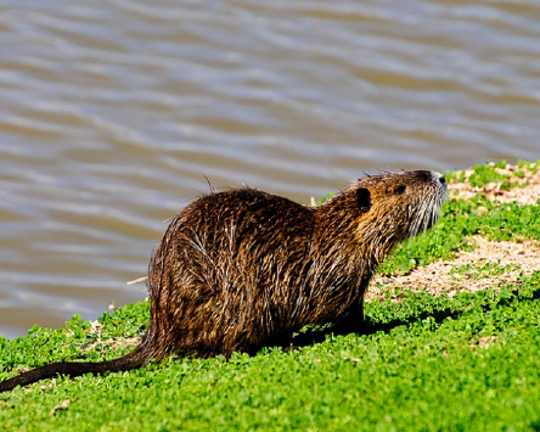 Nutria were introduced to Louisiana in the 1930s for fur farming and released, either accidentally or intentionally, into the coastal marshlands, according to Louisiana Department of Wildlife and Fisheries