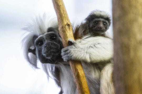 Two critically endangered cotton-top tamarins were born at Potter Park Zoo this spring to parents Yuri and LG.