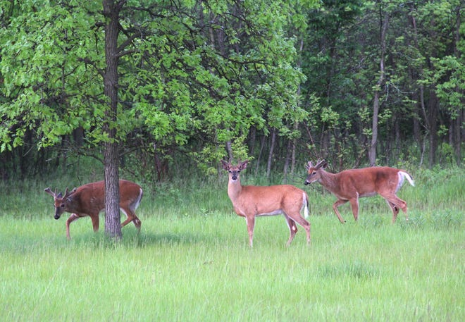 Three white-tailed deer bucks graze near the edge of a woodlot in southern Wisconsin.