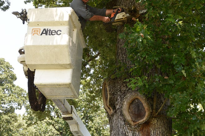 Mountain Home Parks Department employee Darryl Cheek cuts a limb from an Oak Tree Friday at Cooper Park.