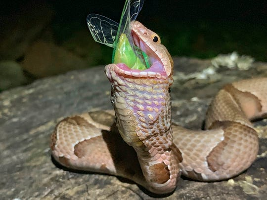 "This July 17, 2019 photo provided by Charlton McDaniel of Fort Smith, Ark., shows a copperhead snake eating a cicada in Arkansa's Ozark National Forest. McDaniel of said Thursday, July 25, 2019, that he was ""fascinated and captivated"" to see a copperhead eat a newly emerged cicada at dusk on July 17. McDaniel says he went to the forest for moonlight kayaking and noticed the molting cicada. McDaniel scared off a nearby snake, but the reptile returned to gobble the insect."