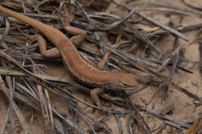 The dunes sagebrush lizard is a small, light brown phrynosomatid lizard (family Phrynosomatidae, genus Sceloporus). Shinnery oaks provide food, shade and a breeding ground for the Dunes sagebrush Lizard.