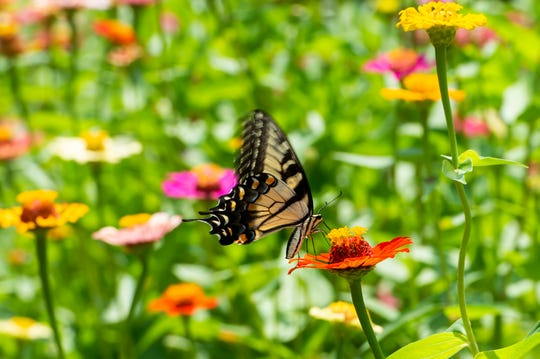 A butterfly collects nectar from a zinnia flower at Terra Farms' Pick-Your-Own Cut Flower Farm in Codorus Township.