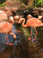 Inside the Flamingo Las Vegas, is a retirement community unlike any you've seen: A flock of nine Chilean flamingos – and many more rescued animals.