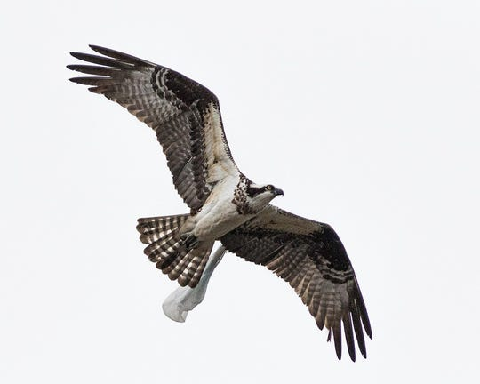 An osprey with a plastic bag caught on its wing flies over Ocean City, Maryland, in April 2018.