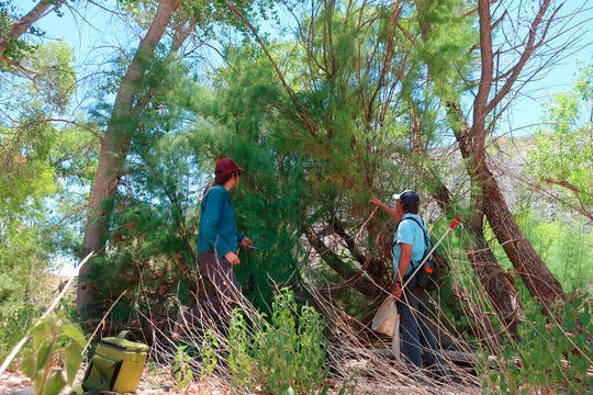 In this Tuesday, July 9, 2019 photo Northern Arizona University researchers Ramey Winton, left, and Matt Johnson search for signs of a tiny leaf-eating beetle along the Verde River in Clarkdale, Ariz. The beetles were brought to the U.S. from Asia to devour invasive tamarisk, or salt cedar, trees. (AP Photo/Felicia Fonseca)