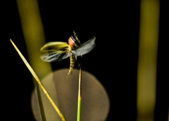 In this June 18, 2019 photo, a firefly lifts off of a blade of grass in Spanish Fork, Utah. The flashes of light floated in the air for a second and then extinguished. A few feet away, they would strike up again. Tiny, match-like bursts.