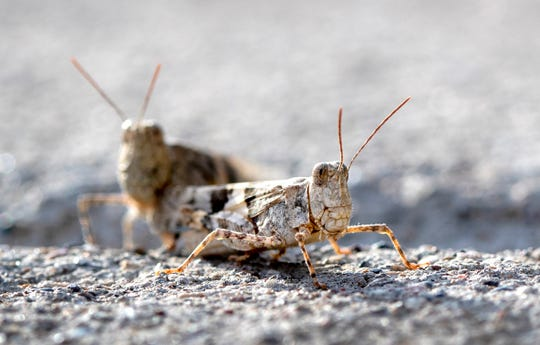 This Thursday, July 25, 2019, photo shows grasshoppers on a sidewalk outside the Las Vegas Sun offices in Henderson, Nev.  A migration of mild-mannered grasshoppers sweeping through the Las Vegas area is being attributed to wet weather several months ago.