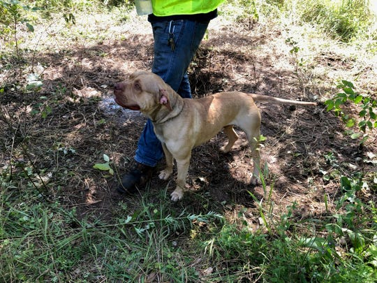 A dog that was found in the woods in East Fishkill on Interstate-84 on July 24.