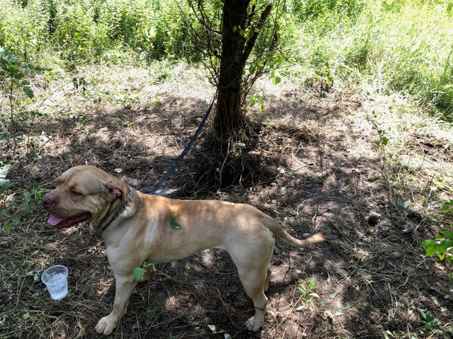 A dog that was found in the woods near East Fishkill in the woods on Interstate 84 on July 24.