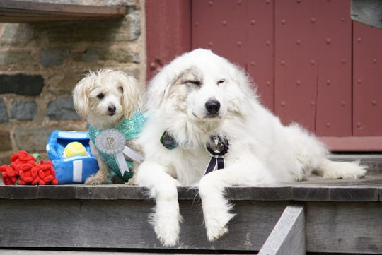 "Two therapy dogs with PAWS for People, a nonprofit that makes visits to hospitals, schools, libraries and more, are getting ""married"" in a special fundraiser on Aug. 10. Frangelica Meloni is the bride, while Shaggydog Stark is the groom."