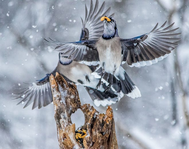 """Dancing Blue Jays,"" by Miguel Denyer of Garden City, is the Woods and Wildlife winner."