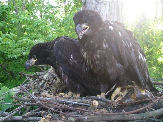 These eaglets and their nest fell 60 feet from a tree at the Clear Fork Reservoir in 2008 and now the eagle in the forefront, banded P85, has been photographed and identified by the band on its leg.