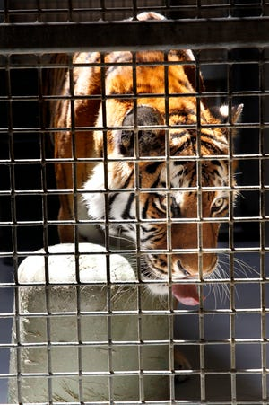 Amba, an Amur tiger at the Milwaukee County Zoo, plays with an object in the Big Cat holding area on Monday, July 22, 2019. Amba died in January 2021.