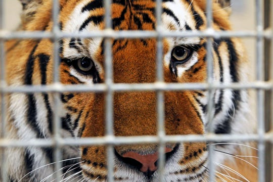 Kash, an Amur tiger, peers out from behind his cage in the Big Cat holding area where zoo visitors have an opportunity to get a closer look at him and other tigers at the Milwaukee County Zoo's Wild Connections tours.