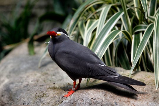 Visitors at Milwaukee County Zoo have an opportunity to feed birds like the Inca tern at the Free Flight Exhibit in the Aviary during special behind the scene tours.